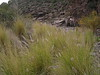 e-AZ-2006-0679 bear grass lower La Barge Ck