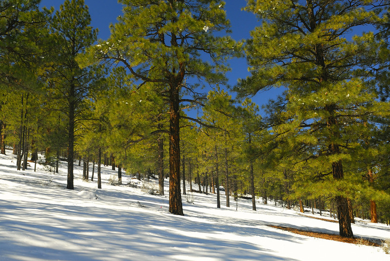 Ponderosa Pine forest along the rim of Sunset Crater.