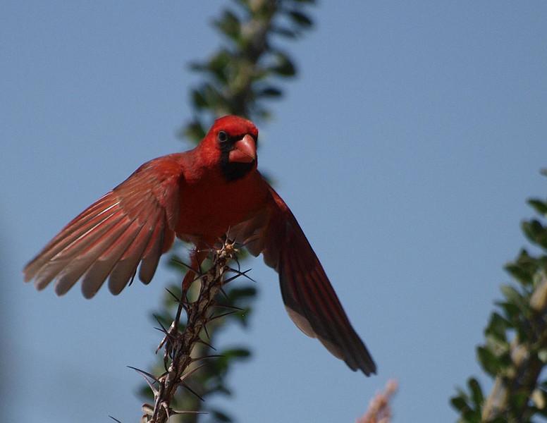 Male cardinal in Sabino Canyon.