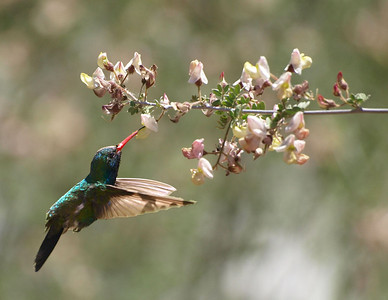 Broad-billed Hummingbird (Cynanthus latirostris) in Sabino Canyon.