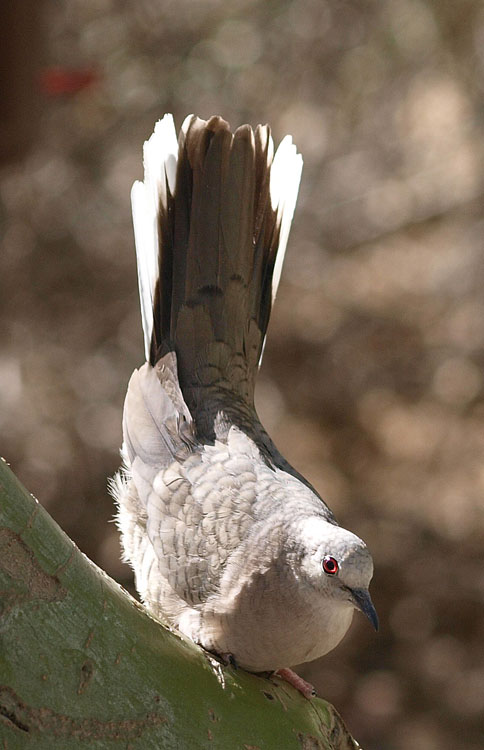 Inca dove displaying courtship rituals.