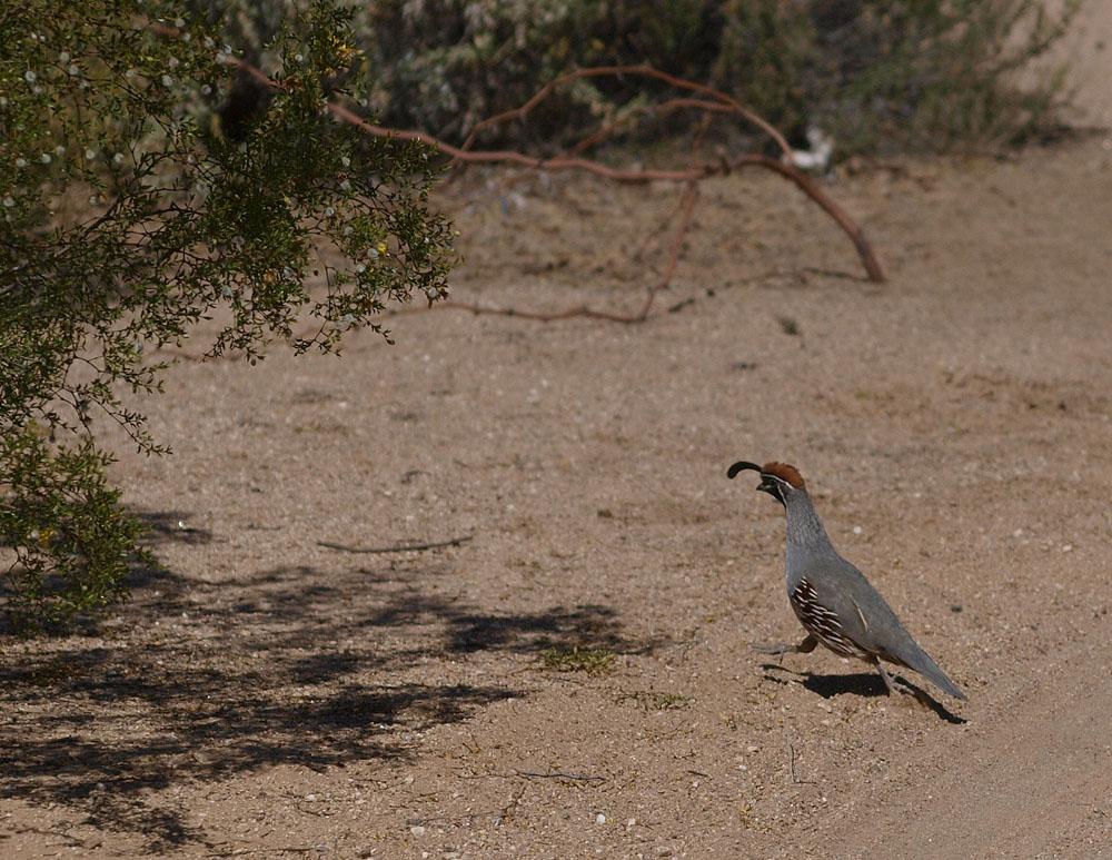 "Gambel's quail in Sabino Canyon.  This quail is also known as the ""desert quail""."
