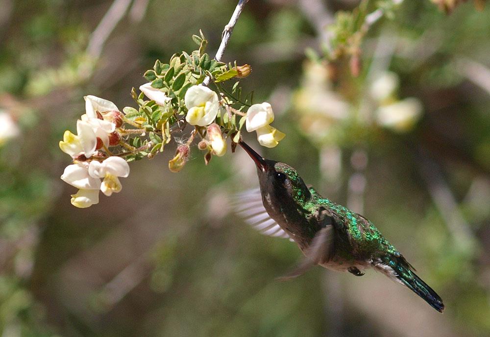 Broad-billed Hummingbird (Cynanthus latirostris) in Sabino Canyon.
