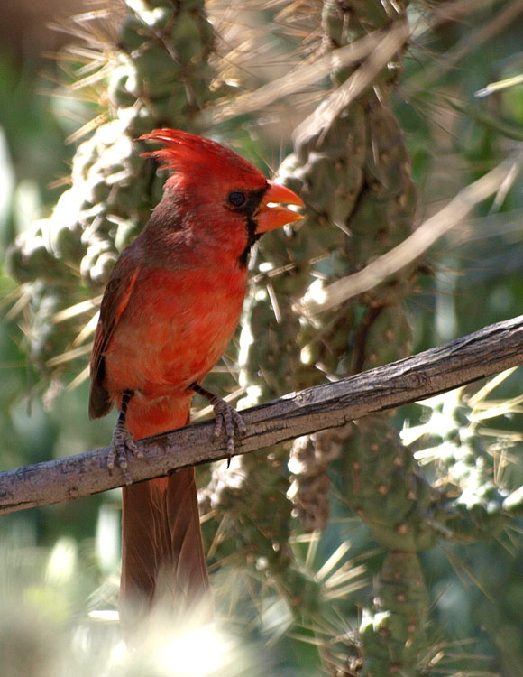 Male cardinal at the Desert Museum.