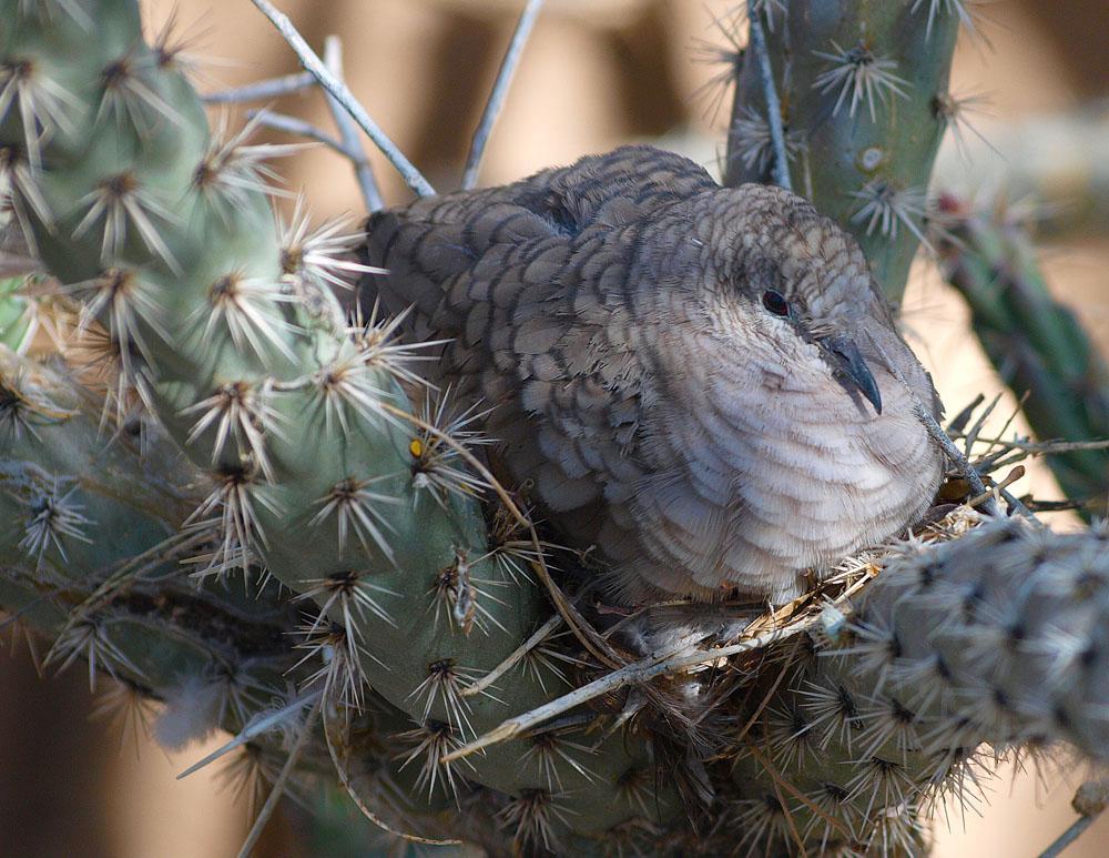 Inca dove nesting.