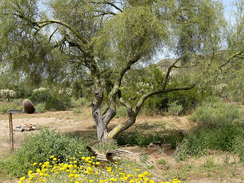Think this is a Palo Verde tree.