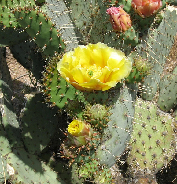 Prickly pear cactus flowers. Amazing how such an ugly cactus can offer something so pretty.
