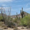 Ocotillo and saguaros
