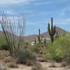 Ocotillo and saguaros