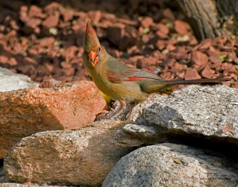 Northern Cardinal 001