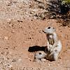 Ground Squirrels 002