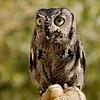Eastern_Screech_Owl_6753