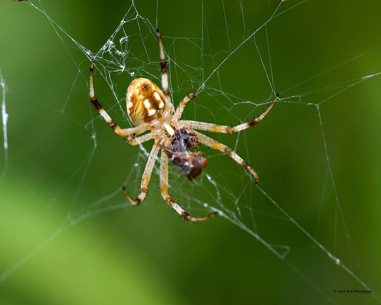 Spider 4885