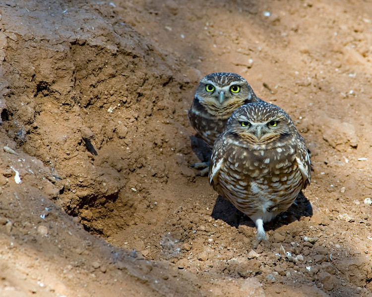 RM_D3_Burrowing_Owls_0884