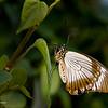 Butterfly_7081