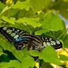 Butterfly_7101