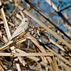 RM Leucistic flycatcher 700 1095