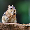 RM_D7000_Ground_Squirrel_7156