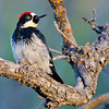 Male Acorn Woodpecker in Northern AZ, Rock Crossing Camp Ground<br /> <br /> RM_D7000_3799.jpg