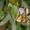 Mating_butterflies_7078