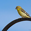 Yellow_Bird_1122