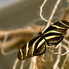 Zebra_longwing_butterfly_7157