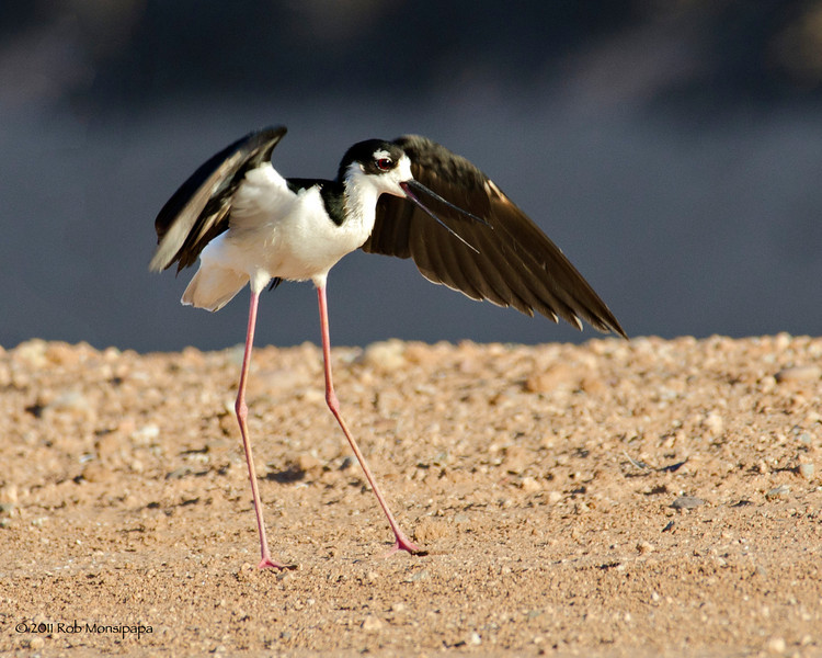 RM_D7000_Momma_Stilt_1413<br /> <br /> This is Momma Stilt telling me she doesn't appreciate me getting so close to her eggs.  They blend in so well with the ground that if you didn't see where she was nesting, you would have a hard time finding the eggs, even if you were standing right next to them.  They are about a nickel size in diameter.