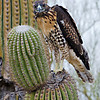 RM_D7000_Juvenile_Red_Tail_Hawk_2188