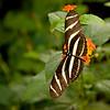 Zebra_Longwing_7140