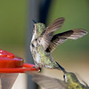 Two_hummers_fighting_0314