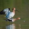 They complete their mating in about 3 seconds. <br /> <br /> RM_D3_Avocet_Mates_6962