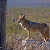 RM_Sonoran_Coyote_700_0190