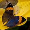 Dead_leaf_butterfly_7043
