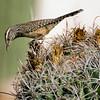Cactus Wren 001