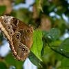 Butterfly_7085
