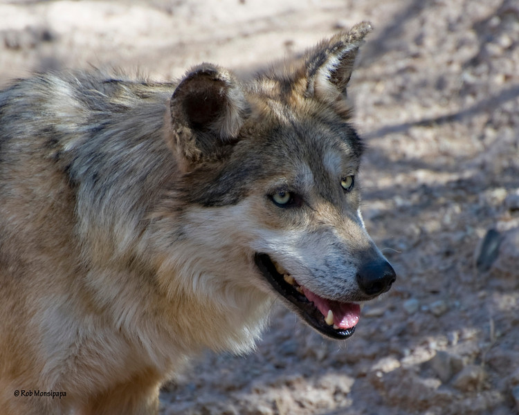 RM_Sonoran_Mexican_Grey_Wolf_700_0287