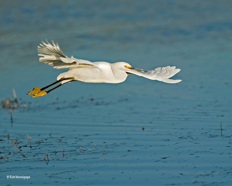 RM Snowy Egret 700_3456
