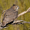 RM_Sonoran_Great_Horned_Owl_700_0226
