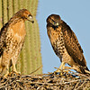 RM_D7000_Juvenile_Red_Tailed_Hawks_2436