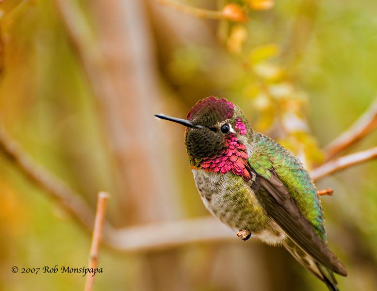 Humming Bird in tree 13