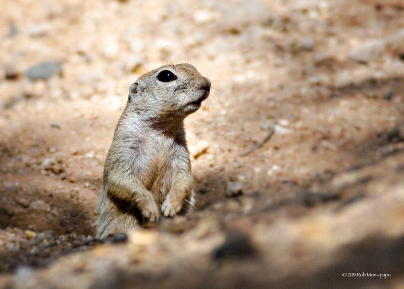 RM_D7000_Ground_Squirrel_6279