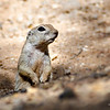 RM_D7000_Ground_Squirrel_6279