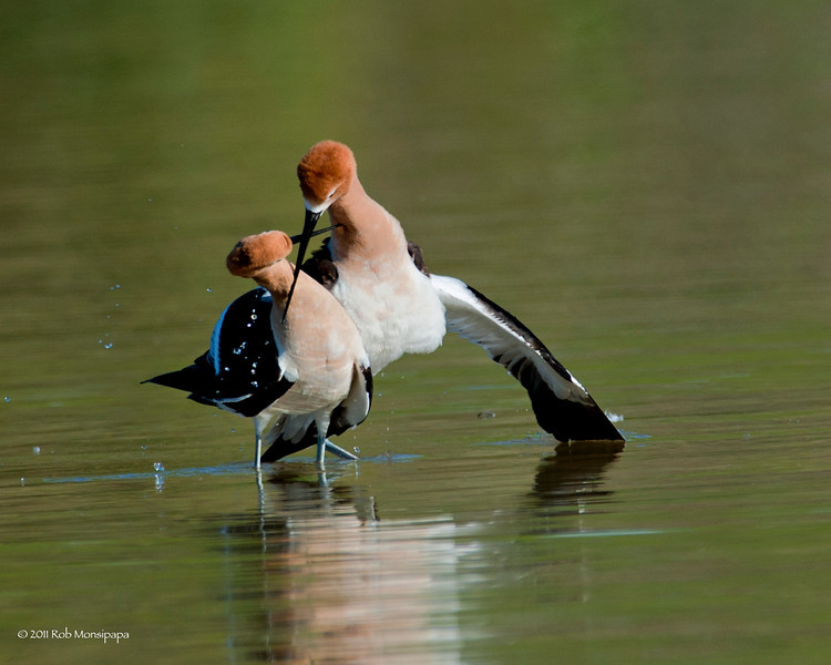 As he dismounts they start their show of affection, crossing their bills in a display for all to see.  It's like holding hands after being married for so many years, for all that see that they are mates. <br /> <br /> RM_D3_Avocets_Mate_6963