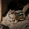 RM_D7000_Ground_Squirrel_7216