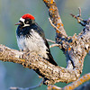 Male Acorn Woodpecker in Northern AZ, Rock Crossing Camp Ground<br /> <br /> RM_D7000_3826