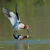 Then he took flight, got into position and the timing was right. <br /> <br /> RM_D3_Avocet_Mates_6955