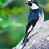 Male Acorn Woodpecker in Northern AZ, Rock Crossing Camp Ground<br /> <br /> RM_D7000_3603.jpg