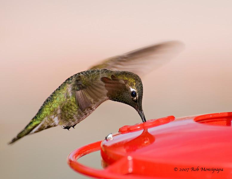 Humming Bird drinking 01