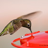 Humming Bird drinking 01