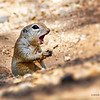 RM_D7000_Ground_Squirrel_6273